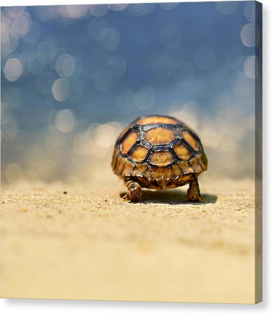 Tortoises Canvas Print - Road Warrior by Laura Fasulo