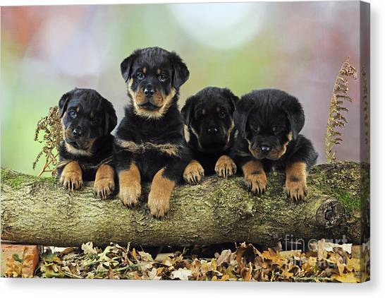 Rottweilers Canvas Print - Rottweiler Puppy Dogs by John Daniels