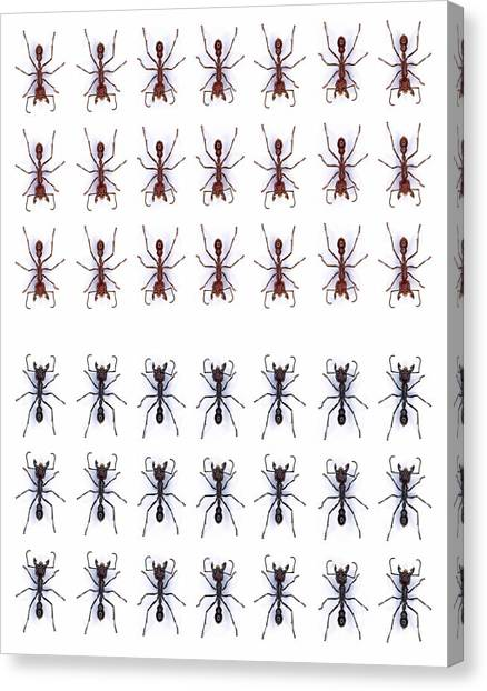 Rows Of Ants Canvas Print by Gustoimages/science Photo Library