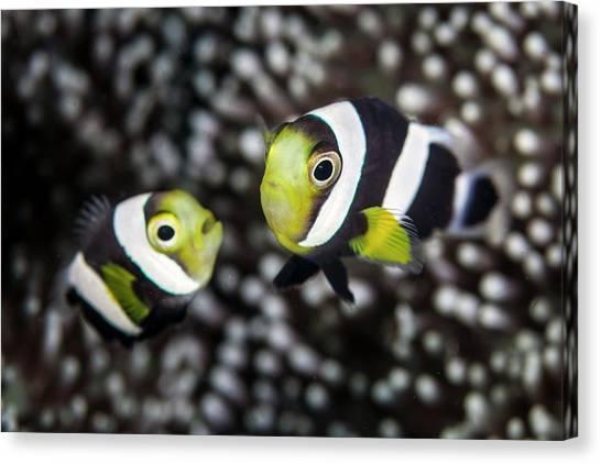 Anemonefish Canvas Print - Saddleback Anemonefish by Ethan Daniels