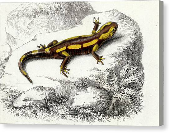 Salamanders Canvas Print - Salamander by Collection Abecasis