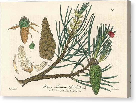 Scotch Canvas Print - Scots Pine by Florilegius/natural History Museum, London