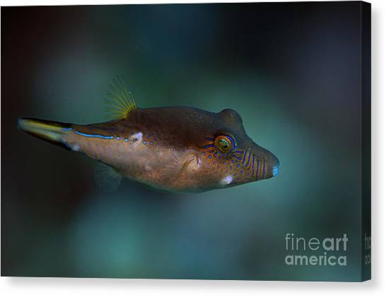 Sharpnose Puffer Canvas Print
