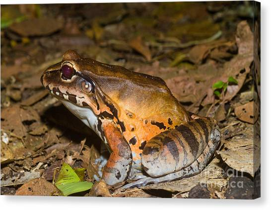 Amazon River Canvas Print - Smoky Jungle Frog by William H. Mullins