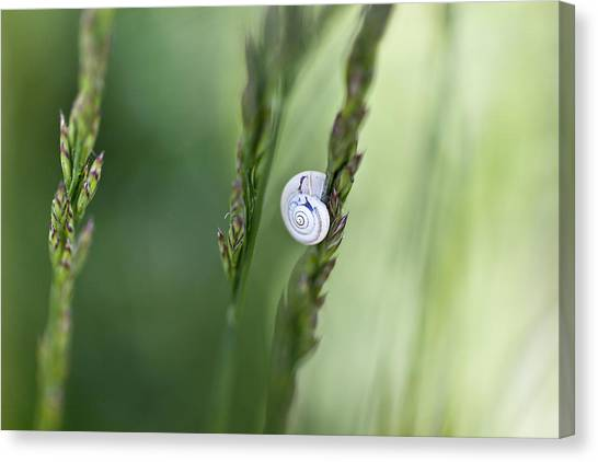 Smallmouth Bass Canvas Print - Snail On Grass by Nailia Schwarz
