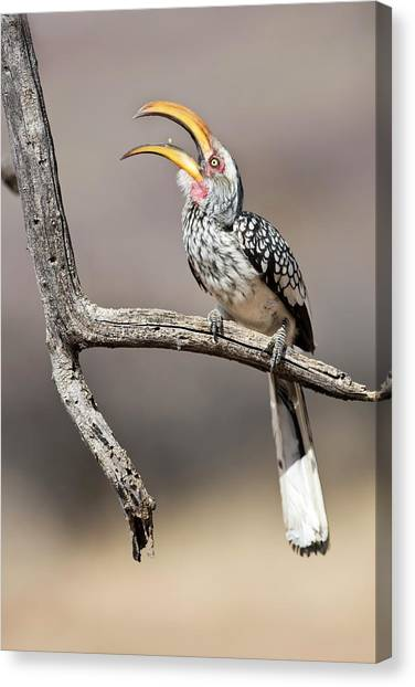 Hornbill Canvas Print - Southern Yellow-billed Hornbill by Tony Camacho