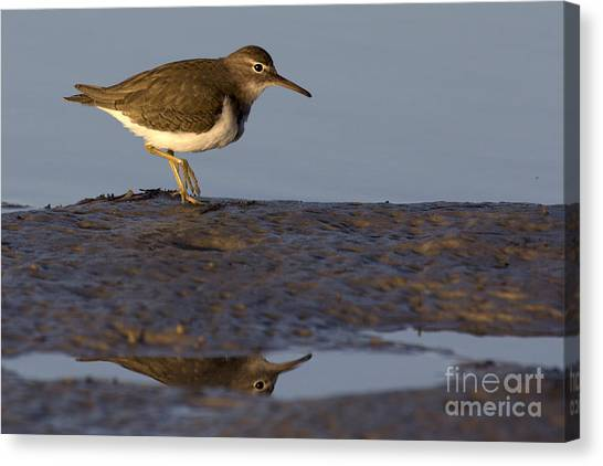 Spotted Sandpiper Reflection Canvas Print