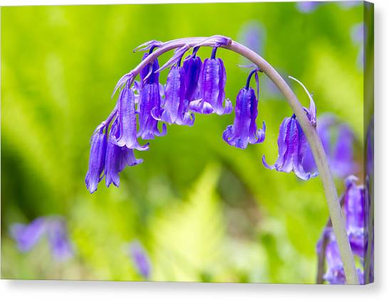 Canvas Print - Spring Bluebells Growing In English Countryside by Fizzy Image