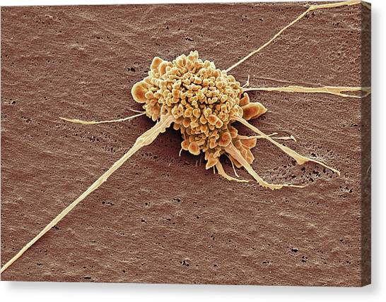 Stem Cell Canvas Print by Steve Gschmeissner