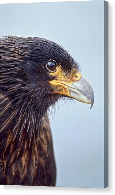 Albatrosses Canvas Print - Striated Caracara Or Johnny Rook by Martin Zwick