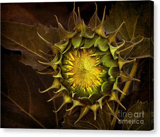 Sunflower Canvas Print - Sunflower by Elena Nosyreva