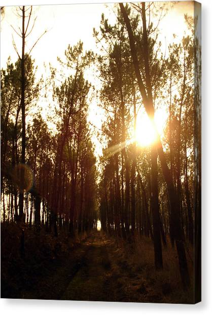 Sunrise Pin Tree Forest Canvas Print by Michel Mata