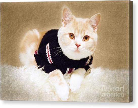 Scottish Folds Canvas Print - The Cat Wears Sweater by Aiolos Greek Collections