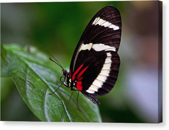 Tiger Longwing Canvas Print by Cheryl Cencich