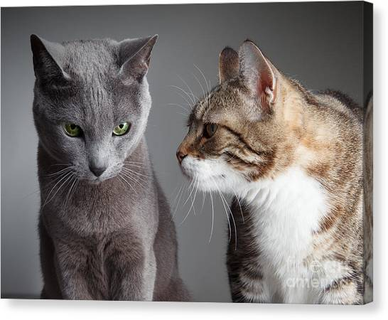 Russian Blue Canvas Print - Two Cats by Nailia Schwarz