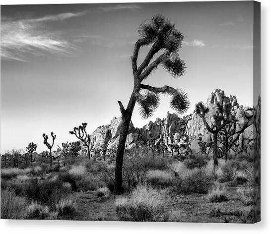 Spring Trees Canvas Print - Usa, California, Joshua Tree National by Ann Collins