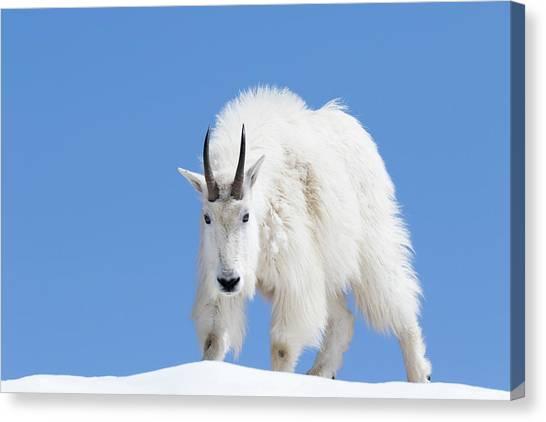 Goat Canvas Print - Usa, Washington State, Alpine Lakes by Jamie and Judy Wild