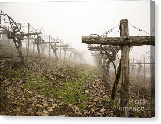 Vineyard In The Fog Canvas Print