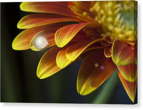 Waterdrop On A Gerbera Daisy Petal Canvas Print