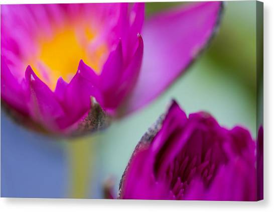Waterlily Dream Canvas Print