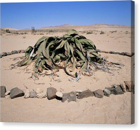 Namib Desert Canvas Print - Welwitschia Mirabilis by Sinclair Stammers/science Photo Library