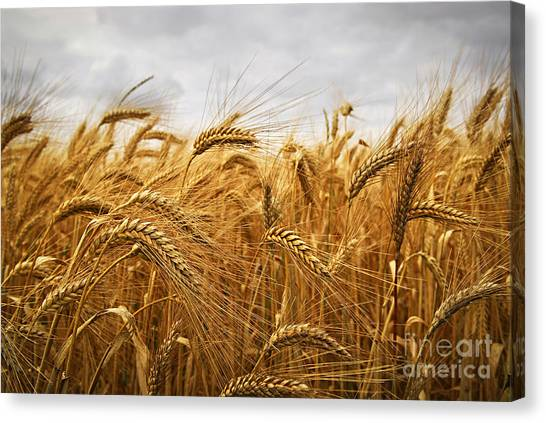 Ears Canvas Print - Wheat by Elena Elisseeva