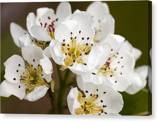 Beautiful White Spring Blossom Canvas Print