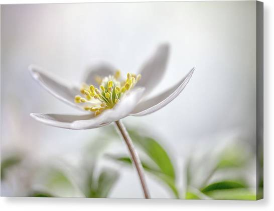 Tenderness Canvas Print - Wood Anemone by Mandy Disher