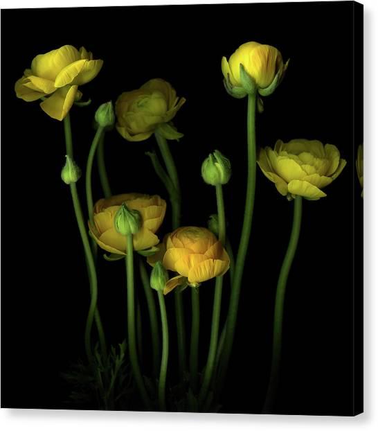 Yellow Ranunculus Canvas Print by Photograph By Magda Indigo