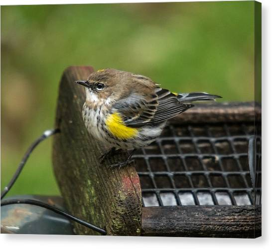 Canvas Print featuring the photograph Yellow-rumped-warbler by Robert L Jackson