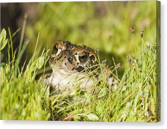 Yosemite Toad Canvas Print