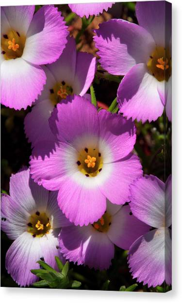 Phlox Canvas Print - Usa, California, San Diego by Jaynes Gallery