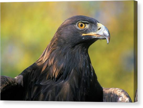 Colorado State University Canvas Print - 2000s Golden Eagle Aquila Chrysaetos by Animal Images