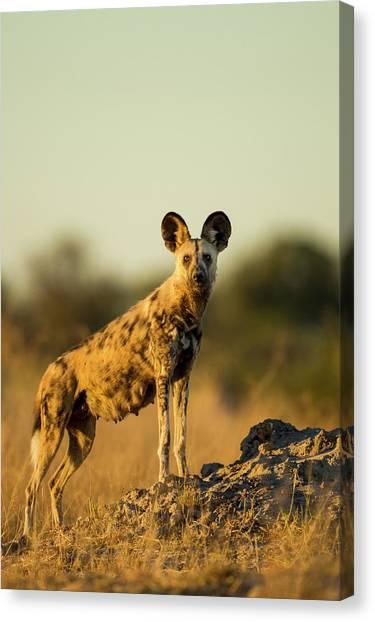Kalahari Desert Canvas Print - Africa, Botswana, Moremi Game Reserve by Paul Souders