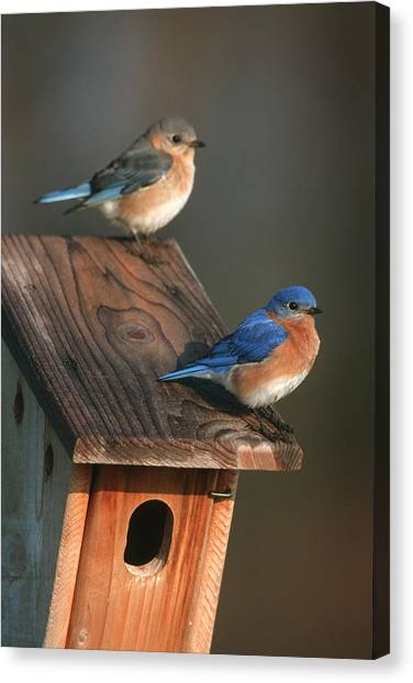 Cavity Canvas Print - Eastern Bluebird (sialia Sialis by Richard and Susan Day