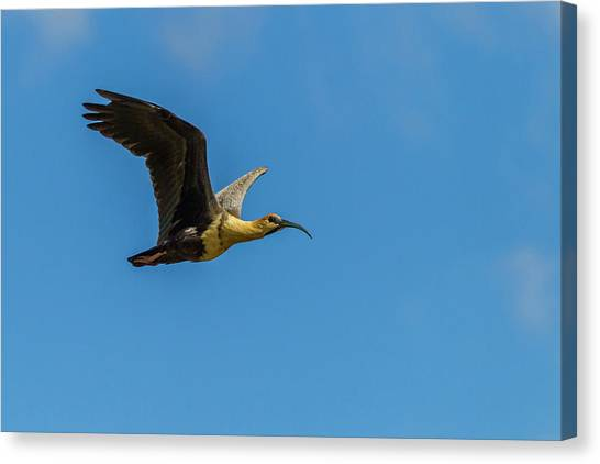 Ibis Canvas Print - South America, Chile, Patagonia, Torres by Jaynes Gallery