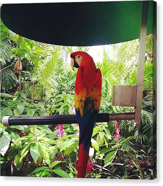 Macaws Canvas Print - Red Macaw by Ana Szilagyi
