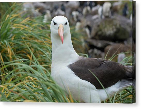 Albatrosses Canvas Print - Falkland Islands by Inger Hogstrom