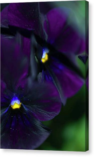Pansy (viola X Wittrockiana) Canvas Print by Maria Mosolova/science Photo Library