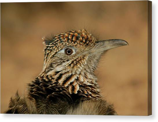 Roadrunner Canvas Print - Usa, New Mexico, Bosque Del Apache by Jaynes Gallery