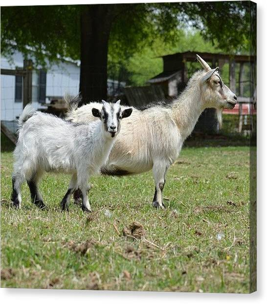 Farm Animals Canvas Print - Goats by Jessica Thomas