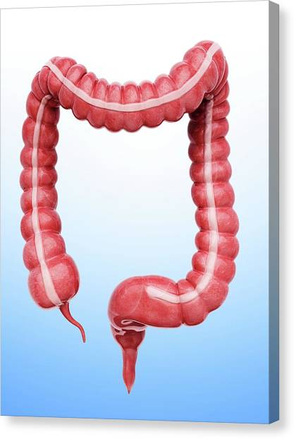 Sigmoid Colon Canvas Print - Large Intestine by Pixologicstudio