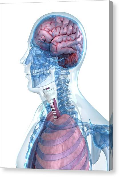 Head Anatomy Canvas Print by Sciepro/science Photo Library