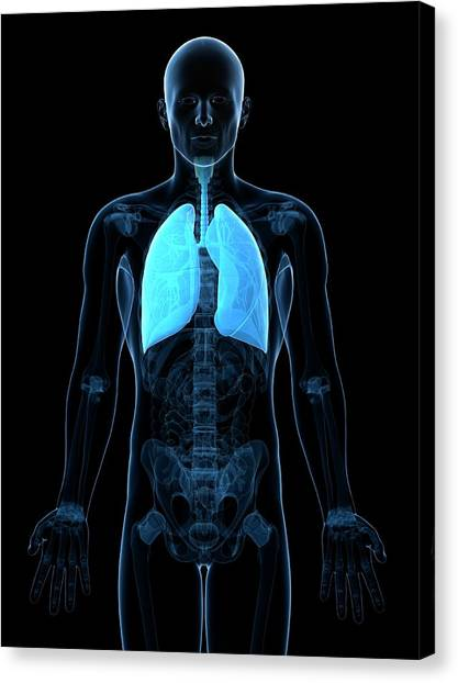 Healthy Lungs Canvas Print by Sciepro/science Photo Library