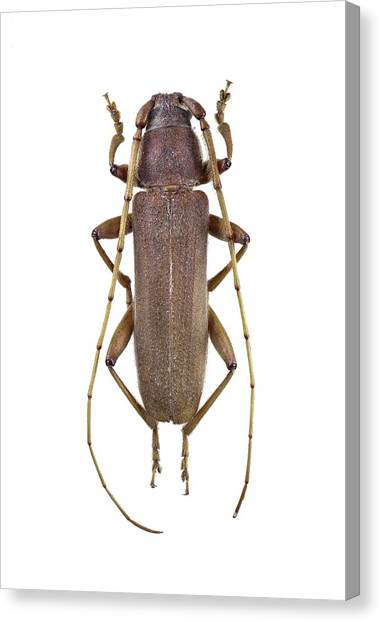 Longhorn Beetle Canvas Print by F. Martinez Clavel