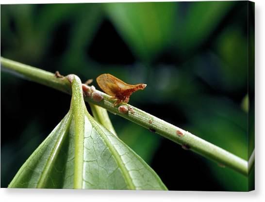 Treehopper Canvas Print by Patrick Landmann/science Photo Library