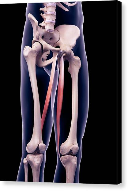 Thigh Muscles Canvas Print by Sebastian Kaulitzki/science Photo Library