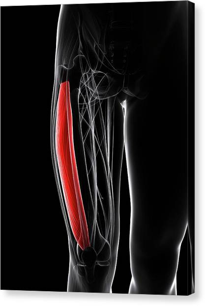 Thigh Muscle Canvas Print by Sciepro/science Photo Library