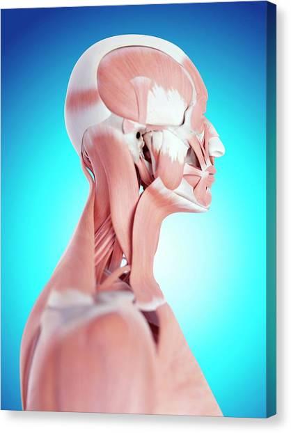 Human Neck Muscles Canvas Print by Sebastian Kaulitzki/science Photo Library