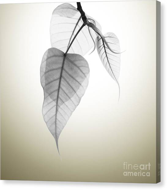 Black Canvas Print - Pho Or Bodhi by Atiketta Sangasaeng